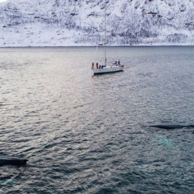 Orcas and sailboat by drone