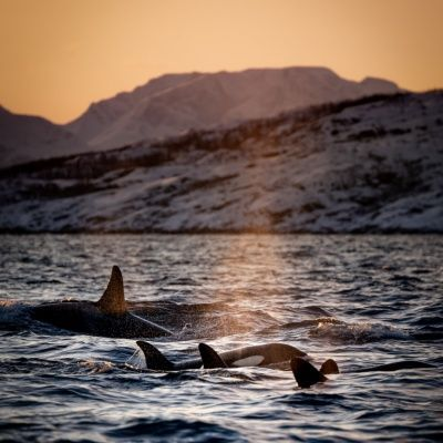 ?Freedive Orcas & Whales, Norway by sailboat ⛵